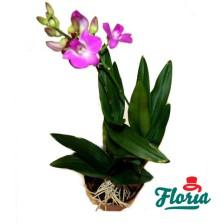 flori-orhidee-dendrobium-mica-mov-1971